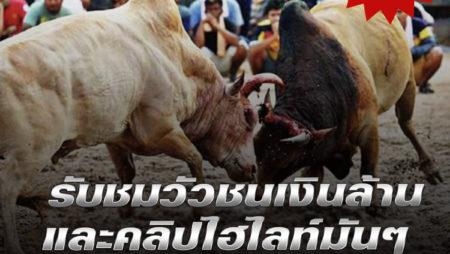 วัวชนเงินล้าน